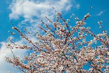디오션 컨트리클럽 의 벚꽃